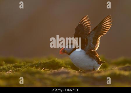 Atlantic puffin (Fratercula arctica) adult in evening light. Skomer Island, Pembrokeshire, Wales. April. - Stock Image