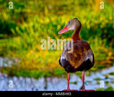 A Whistling Duck checks things out at sunrise in the Florida Everglades. - Stock Image