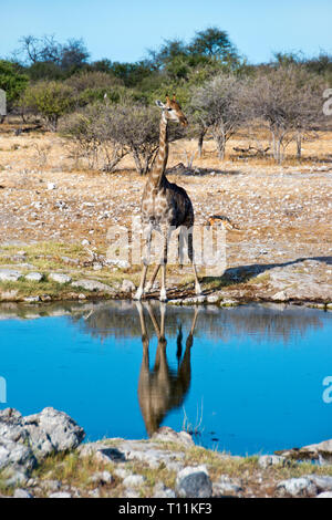 A Giraffe drinks at a waterhole in Etosha National Park, Namibia. - Stock Image