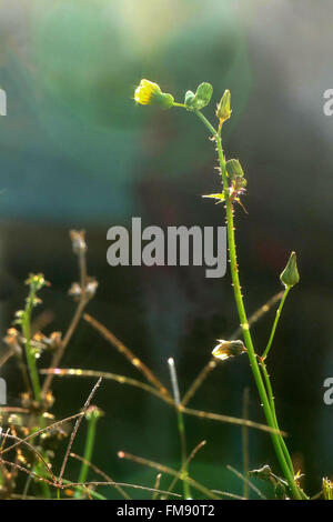Blooming grass with dew. - Stock Image