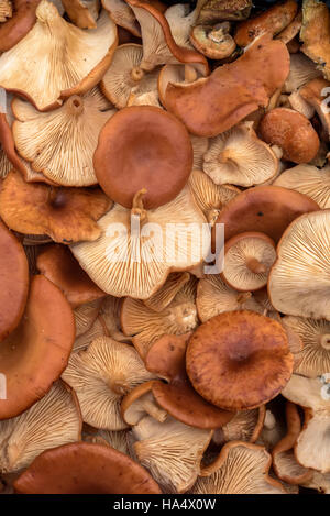 Handpicked mushrooms on display picked by people. The organic natural produce is edible. Vertical composition - Stock Image