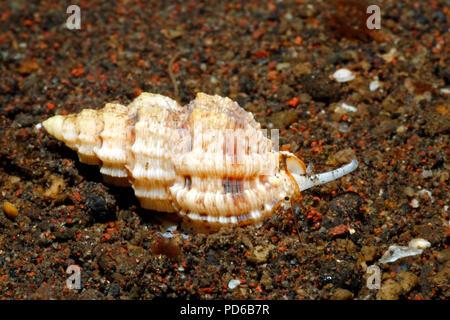 Live Sea Snail Shell, Phos textilis. Crawling along sand underwater, showing syphon and eye.Tulamben, Bali, Indonesia. Bali Sea, Indian Ocean - Stock Image