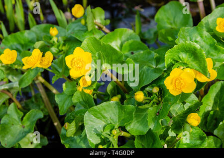 Marsh Marigold flowers, yellow in early spring. Close up view of the plant growing at the edge of a garden pond. - Stock Image