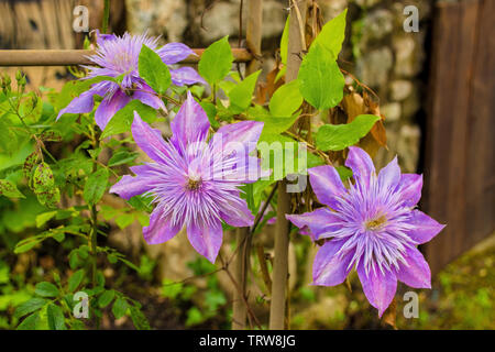 Flowers on a lilac clematis plant in north east Italy - Stock Image