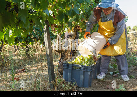 Woman working emptying green grapes from a bucket to a crate - the grape harvest at Quinta do Aral,  Portugal - Stock Image