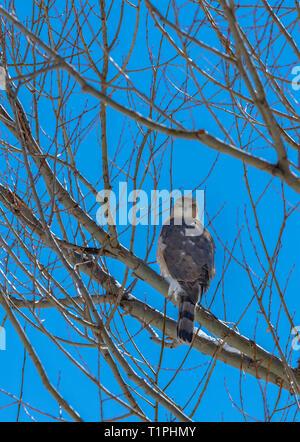 Sharp-shinned Hawk (Accipiter striatus) sitting in Plains Cottonwood tree, Castle Rock Colorado US. Photo taken in March. - Stock Image