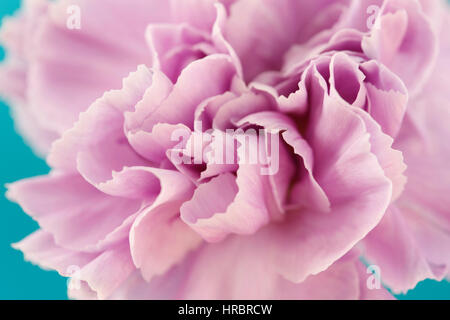 charming lilac carnation close up, center of flower still life blue background  Jane Ann Butler Photography JABP1852 - Stock Image