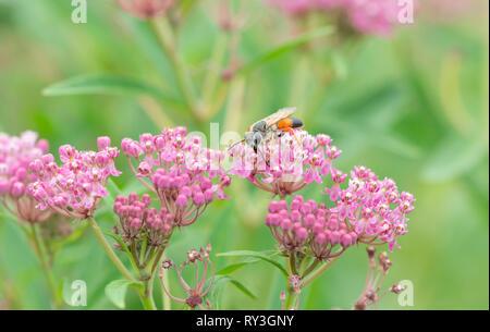 Golden digger wasp Sphex ichneumoneus feeding on rose milkweed nectar - Stock Image