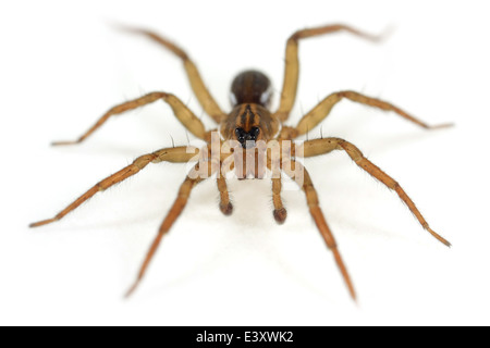 Male Pirate otter-spider (Pirata piraticus), part of the family Lycosidae - Wolf spiders. Isolated on white background. - Stock Image