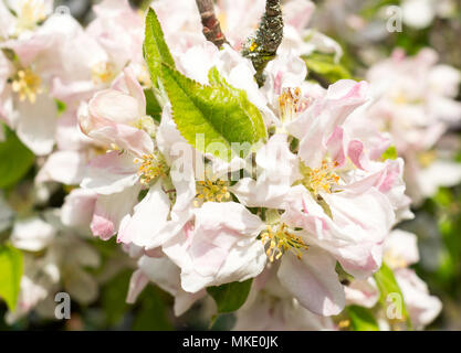 Close up of Malus domestica Egremont Russet, flowering in a suburban garden, north east England, UK - Stock Image