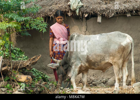 A village woman feeds her cow, Ramnagar, Uttarakhand, northern India - Stock Image