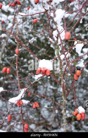 Rose hips in the winter snow. - Stock Image