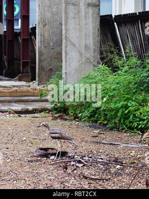 Bush stone-curlew (Burhinus grallarius) standing over its two eggs laid in an abandoned building site, central Cairns, Queensland, Australia. No PR - Stock Image