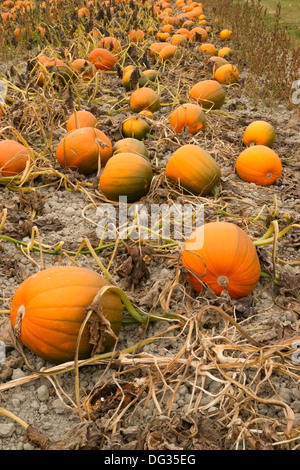 Pumpkin pile ready for harvest at the local farm - Stock Image