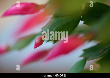 an abundant pot plant, christmas cactus,  that blooms during the Christmas season  Jane Ann Butler Photography JABP1816 - Stock Image