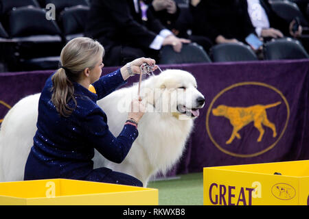 New York, USA. 12th Feb 2019. Westminster Dog Show - New York City, 12 February, 2019:  GCHG CH RIVERGROVES THE NAME OF THE GAME, A Great Pyrenees is groomed while awaiting judging in the Working Group competition at the 143rd Annual Westminster Dog Show, Tuesday evening at Madison Square Garden in New York City. Credit: Adam Stoltman/Alamy Live News - Stock Image