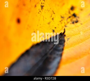 Autumn leaves, close up, macro selective focus, - Stock Image