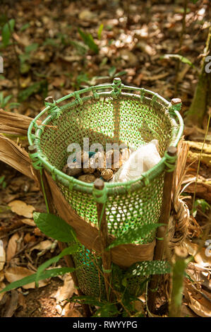 Mato Grosso State, Brazil. A traditional Kayapo design basket, but made of plastic binding tape, stands on the floor of the rainforest with Cumaru (Di - Stock Image