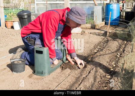 Older man planting parsnip seedlings, raised in toilet roll tubes, on an allotment, England, UK - Stock Image