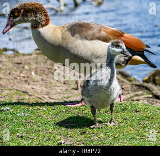 Egyptian goose (alopochen aegyptiaca) gosling, normally called a duckling as the species is closely related to the shelduck - Stock Image