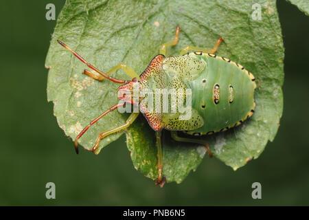 Hawthorn Shieldbug final instar nymph (Acanthosoma haemorrhoidale) resting on hawthorn leaf. Tipperary, Ireland - Stock Image