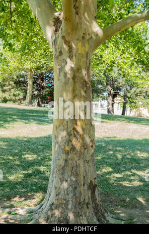 An American Sycamore tree,  Platanus occidentalis, featuring its peeling trunk during summer in Wichita, Kansas, USA. - Stock Image
