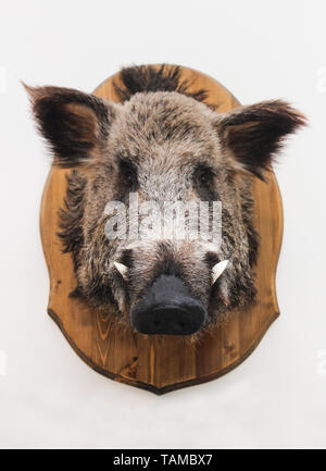 Head of a stuffed wild boar on a blackboard - Stock Image