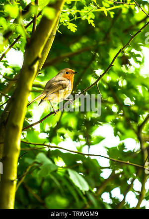 A Robin in full colour singing in a tree. - Stock Image