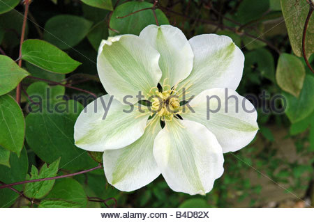 Clematis Guernsey Cream - Stock Image