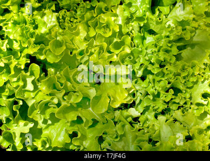 Fresh lettuce at a French farmers market - Stock Image