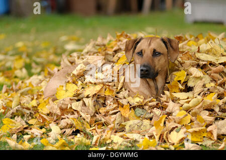 Mixed-breed Rhodesian Ridgeback lying in a pile of leaves - Stock Image