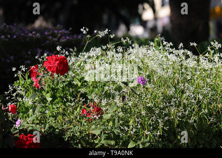 Gorgeous bright red flowers and small white flowers, and some leaves with a soft dark background. Photographed during a sunny spring day in Madeira. - Stock Image