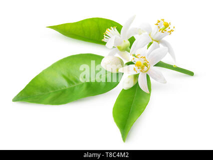 Isolated orange blossoms. Blooming branch of orange tree with flowers and leaves isolated on white background with clipping path - Stock Image