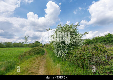 Hawthorn (crataegus) flowering in late spring / early summer along the Test Way footpath in Test Valley, Southampton, Hampshire, southern England, UK - Stock Image