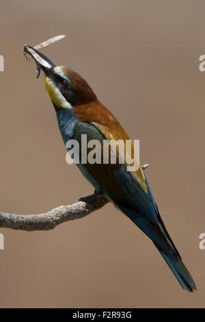 European Bee-eater with prey - Stock Image