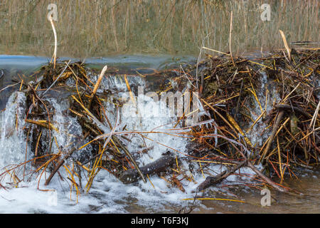 Spring runoff of water overflows an American Beaver dam (Castor canadensis), Castle Rock Colorado US. Photo taken in April. - Stock Image