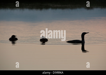 Red-throated Diver (Gavia stellata) adult with two juveniles at night wetland Southern Iceland Europe - Stock Image