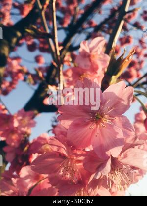 Beautiful pink sakura or cherry blossoms, bathed with orange sunset glow. - Stock Image