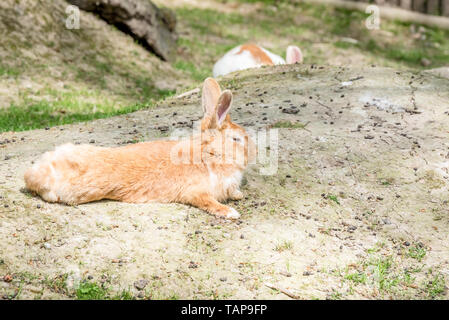Portrait of orange adult fluffy rabbit lays on soil in sunny day. - Stock Image