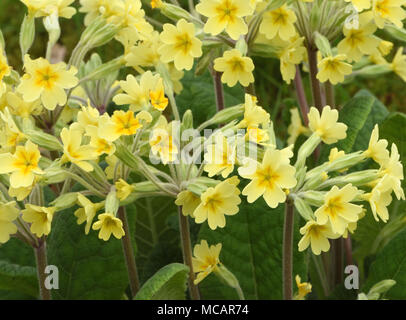 False Oxlip (Primula vulgaris x Primula veris) is a naturally occurring hybrid between primrose (Primula vulgaris) and Cowslip (Primula veris). Bedgeb - Stock Image