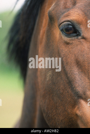 Closeup of Chestnut Brown Horse showing eye, face and neck detail - Stock Image