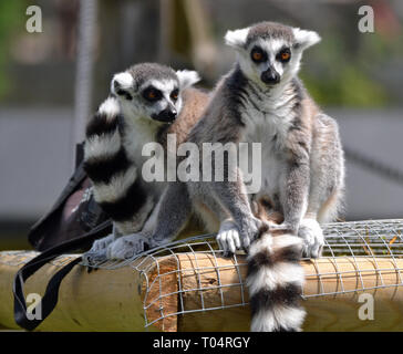 Two ring tailed lemurs enjoying the sunshine on the fence at Tropical Wings Zoo, Chelmsford, Essex, UK. This zoo closed in December 2017. - Stock Image