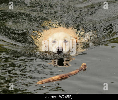 Glasgow, Scotland, UK 5th July, 2019. UK Weather: Raining on the Forth and Clyde canal as a dog plays swim and fetch the stick. Credit: Gerard Ferry/ Alamy Live News - Stock Image