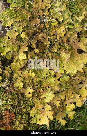 Closeup of green Lobaria Pulmonaria lichen growing next to moss, Scotland, UK. - Stock Image