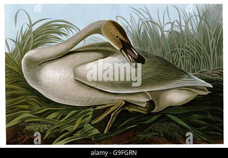 Trumpeter swan, Cygnus buccinator, birds, 1827 - 1838 - Stock Image