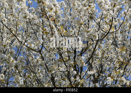Spring is. Blossomed cherry tree. - Stock Image