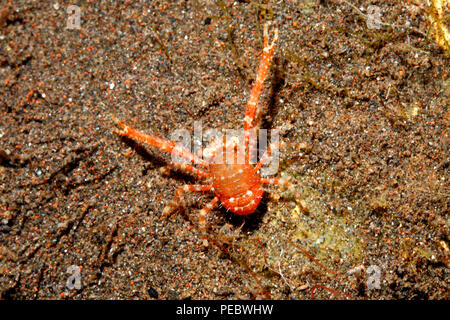 Squat Lobster, Galathea sp. Tulamben, Bali, Indonesia. Bali Sea, Indian Ocean - Stock Image