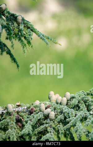Himalayan cedar or deodar cedar tree with female and male cones, Christmas background close up copy space - Stock Image
