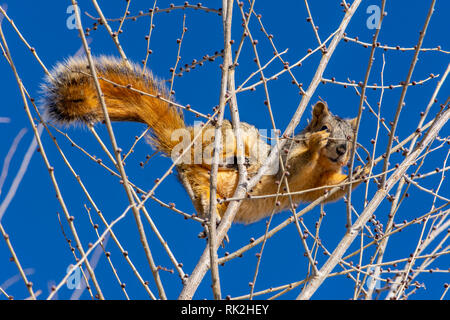 Eastern Fox Squirrel (Sciurus niger) at top of a Lance-leaf Cottonwood tree in winter, Castle Rock Colorado US. Photo taken in February. - Stock Image