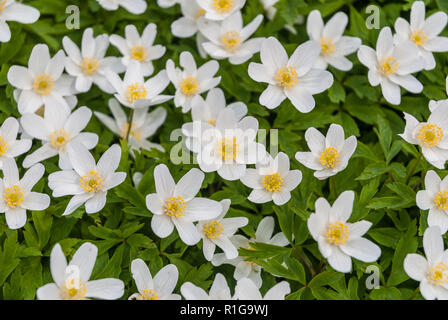 Wood Anemone flowers in early Spring. - Stock Image